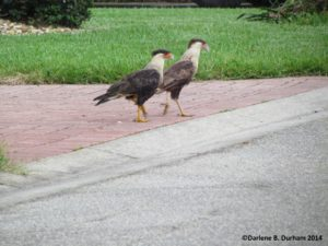 TGO Nature,The Great Outdoors RV Nature and Golf Resort, The Great Outdoors, Titusville, Florida, Bird, Crested Caracara