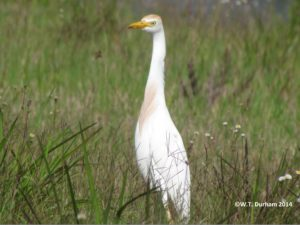 TGO Nature,The Great Outdoors, Titusville, Florida, Bird, Cattle Egret