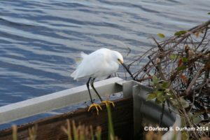 TGO Nature,The Great Outdoors, Titusville, Florida, Bird, Snowy Egret, Golden Slippers